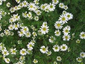 chamomile roman plant