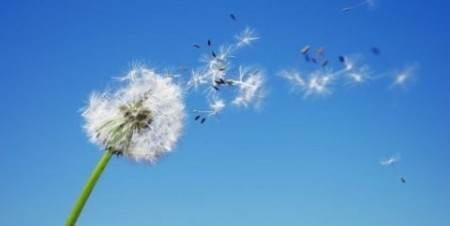 dandelion seed in air