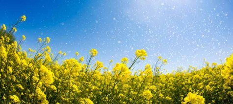 rapeseed field with pollen